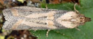 Gymnancyla canella 2B 3