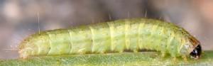 Gymnancyla canella L5 2B 3