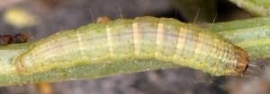 Gymnancyla canella L5 2B 4