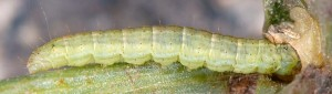 Gymnancyla canella L5 2B 5