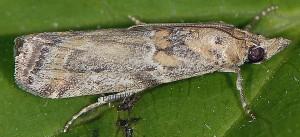 Gymnancyla ruscinonella 66 1