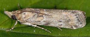 Gymnancyla ruscinonella 66 2