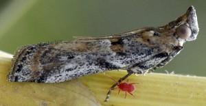 Gymnancyla ruscinonella 66 3
