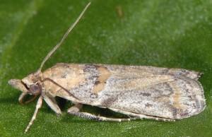 Gymnancyla ruscinonella 66 4