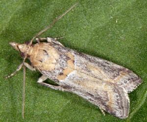 Gymnancyla ruscinonella 66 5