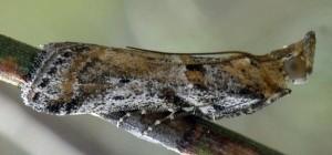 Gymnancyla ruscinonella 66 6