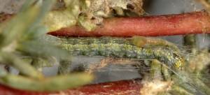 Gymnancyla ruscinonella L5 66 1