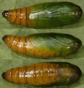 Gymnancyla ruscinonella chrysalide 66 1