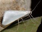 Gypsochroa renitidata 07 3