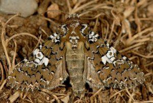 Hadena albimacula