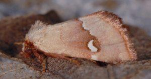 Haemerosia renalis 1