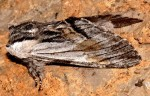 Harpyia milhauseri (I)