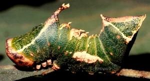 Harpyia milhauseri L5