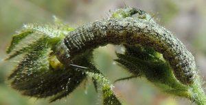 Hecatera bicolorata L5 1