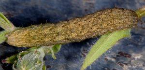 Hecatera bicolorata L5 4
