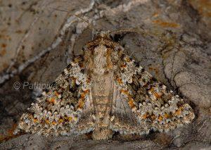 Hecatera dysodea
