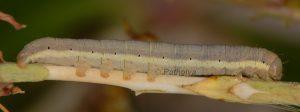 Hecatera dysodea L4