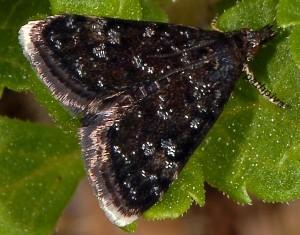 Heliothela wulfeniana 06 1