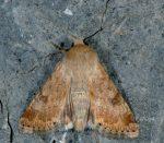 Heliothis nubigera (I)