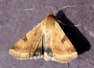 Heliothis peltigera 2