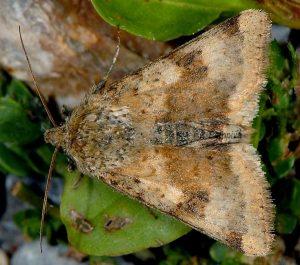 Heliothis viriplaca 1