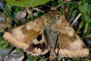 Heliothis viriplaca 2