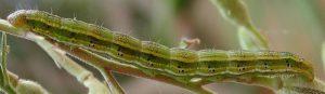 Heliothis viriplaca L5 05 1