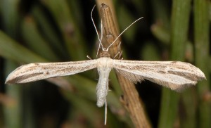 Hellinsia lienigianus