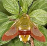 Hemaris fuciformis ((I, L5, P)