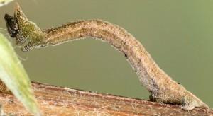Hemistola chrysoprasaria L4 05 2