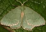 Hemithea aestivaria 38 2