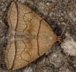 Herminia grisealis (I)