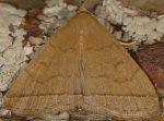 Herminia tarsipennalis (I)