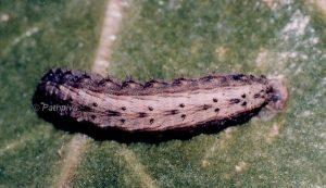 Hoplodrina ambigua L5 3