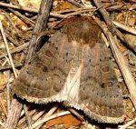 Hoplodrina blanda (I)