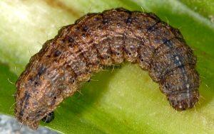 Hoplodrina hesperica L5 2
