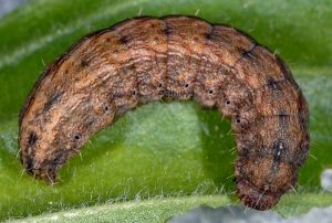 Hoplodrina hesperica L5 3