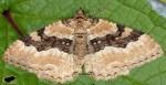 Hydria cervinalis 01 1