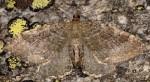 Hydria montivagata 38 3