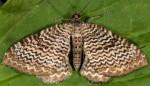 Hydria undulata 38 1