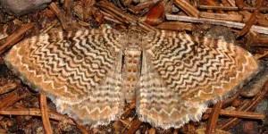 Hydria undulata 38 2