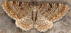 Hydria undulata 38 3