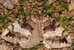 Hydriomena furcata 09 1