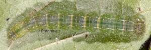 Hypena lividalis L5 1