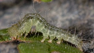 Hypena lividalis L5 2