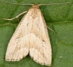 Hypenodes humidalis (I)