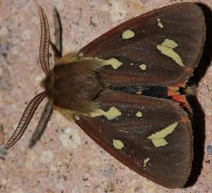 Hyphoraia testudinaria 2