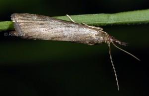 Hypochalcia lignella 06 4