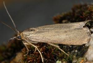 Hypochalcia lignella femelle 06 1