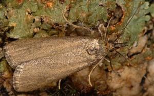 Hypochalcia lignella femelle 06 2